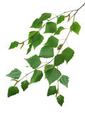 Branch of a birch 2 Stock Images