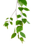 Branch of birch Royalty Free Stock Images