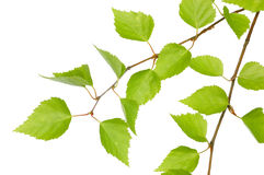 Branch of a birch Stock Images