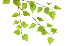 Branch of a birch Royalty Free Stock Images