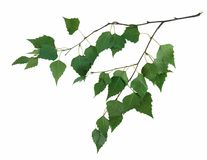 Branch of a birch Royalty Free Stock Photos