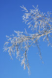 Branch of a birch. In hoarfrost on a background of the blue sky Royalty Free Stock Image