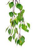 Branch of birch with buds and leaves , isolated  without shadow Stock Photography