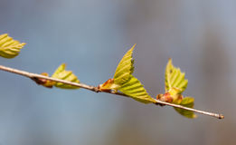 Branch of a birch closeup Royalty Free Stock Images
