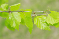 Branch of the birch Stock Image