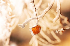 The branch of  birch in hoarfrost Stock Photography