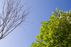 Branch of birch with leaves and without on the background with blue sky. Summer contrast. Opposites.  stock images