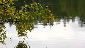 Branch of birch over the water. Birch branches bent over the water stock video footage