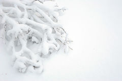 Branch of the birch in the snow. Stock Photo