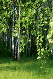 Branch of a birch tree Royalty Free Stock Images