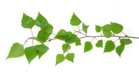 Branch of birch tree. One branch of birch tree Stock Photos