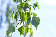 Branch of birch tree with green leaves and catkins stock images