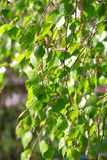 Branch of a birch tree Royalty Free Stock Photo