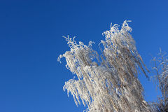 Branch of birch in winter. The branch of birch in winter on the sky background Royalty Free Stock Photo