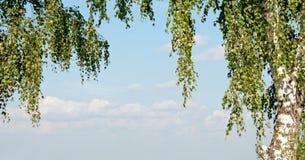 Branch of birch Royalty Free Stock Image