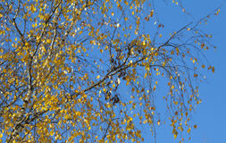 Branch of birch with yellow leaves Royalty Free Stock Images