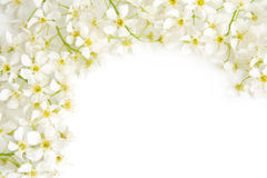 Branch of bird cherry. On a white background Royalty Free Stock Photography