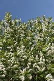 Branch of a bird cherry Stock Photos