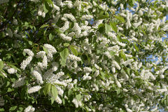 Branch of a bird cherry Royalty Free Stock Photo