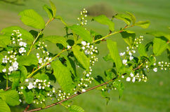 Branch of Bird Cherry with buds Royalty Free Stock Photography