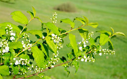 Branch of Bird Cherry with buds Royalty Free Stock Photo