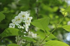 Branch of bird cherry. With flowers. Close-up shooting Stock Image