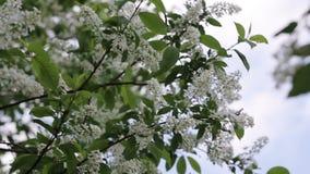 Branch of bird cherry stock footage