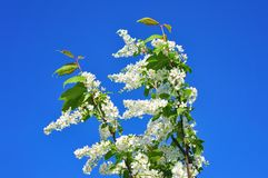 Branch of bird cherry in front of blue sky. Copy space Stock Images