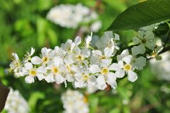 Branch of bird cherry in front of blue sky. Copy space Stock Photo