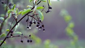 The branch of a bird cherry after the rain with dried berries and large drops of water on them shivers in the light wind stock footage