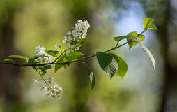 Branch of bird cherry Royalty Free Stock Photos