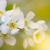Branch of bird cherry. Royalty Free Stock Photography