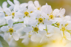 Branch of bird cherry. Royalty Free Stock Images
