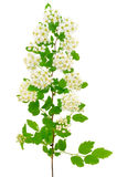The branch of bird-cherry tree (Prunus padus). On a white background Stock Photos