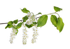 Branch of bird cherry tree on white Stock Photography