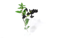 Branch with black berries Stock Images