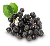 Branch of black chokeberry (Aronia melanocarpa) isolated on the Stock Photography