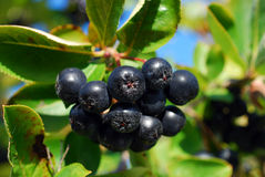 Branch of black chokeberry fruits in the garden Stock Image