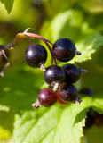 Branch of a black currant Stock Photography