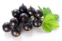 Branch of black currant. stock photography