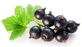 Branch of black currant. Royalty Free Stock Image