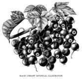 Branch of black currant botanical vintage illustration isolated stock illustration