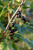 Branch of black currant on bush. Fresh, Natural, in garden and daylight close-up Royalty Free Stock Image