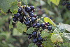 Branch of black currant. Royalty Free Stock Photography