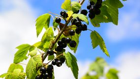 Branch of black currant with ripe berries in wind