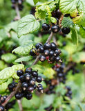 Branch of black currant Stock Photography