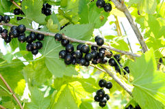 Branch of black currant Royalty Free Stock Photography