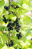 Branch of black currant Royalty Free Stock Image