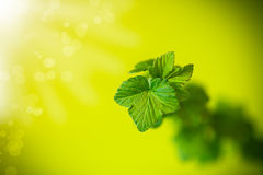 Branch of black currant with young leaves Royalty Free Stock Photos