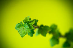 Branch of black currant with young leaves Royalty Free Stock Images